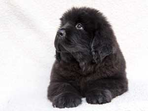 Newfoundland puppy looking up